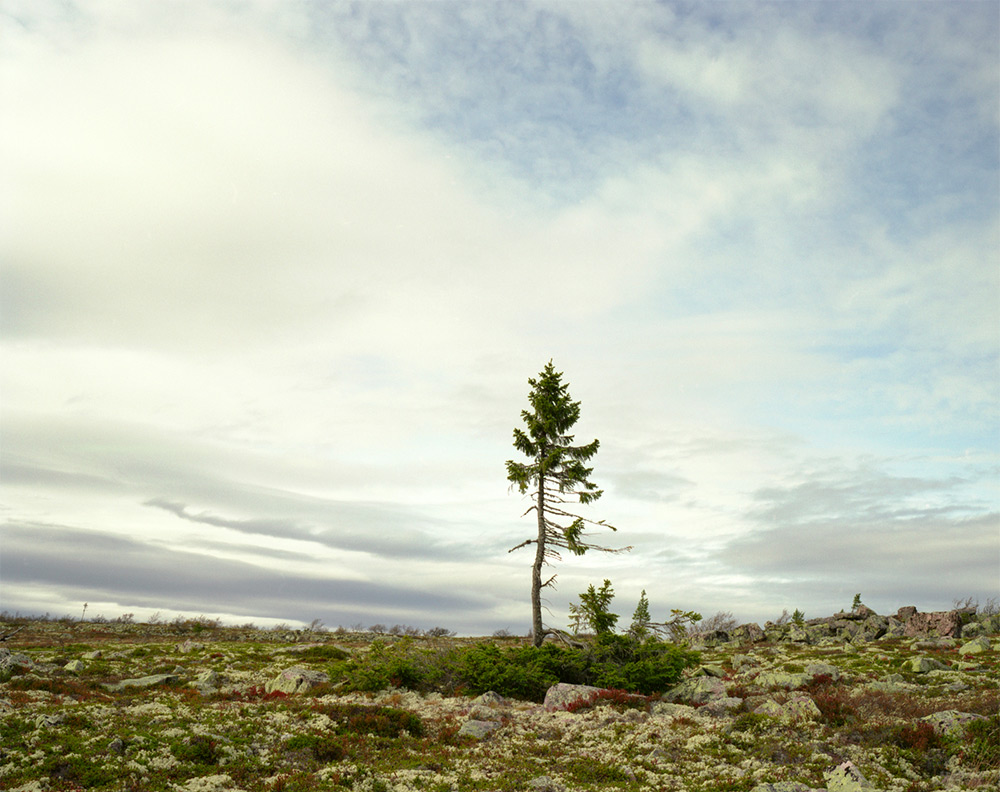 Spruce Gran Picea #0909 – 11A07 (9,550 years old; Fulufjallet, Sweden)