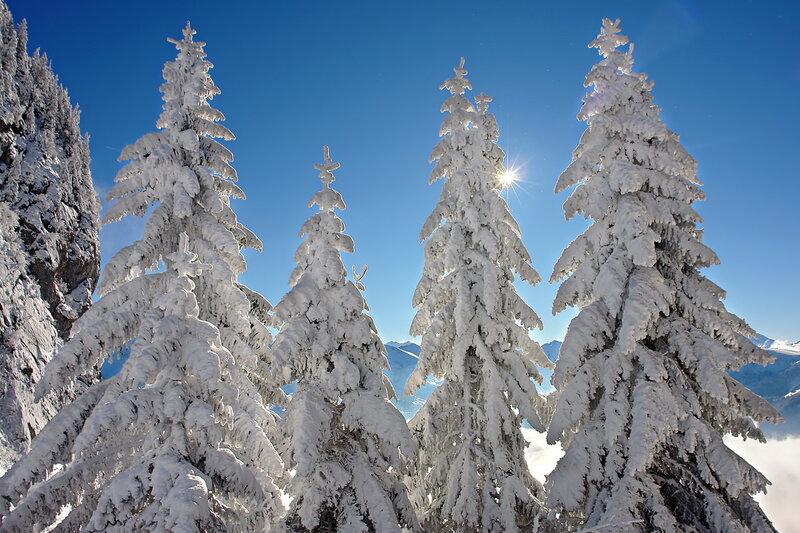 снежные красавицы