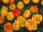 На фазенде рабыни Изауры.  (наши огородно-цветочные хвастики) - Страница 3 0_16ab74_f376bda0_S