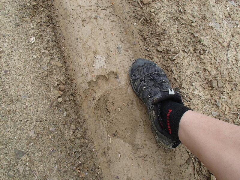 След медведя на дороге в горах Северный Пинд, Загория, Греция