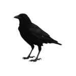 TTL-crow by Vicky.png