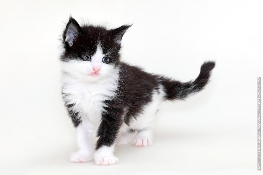 продам в Москве котенок Мейн-кун