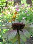Echinacea  Caribbean Green (2).JPG