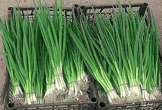 зеленый репчатый лук пакуется в тару для отправки покупателям
