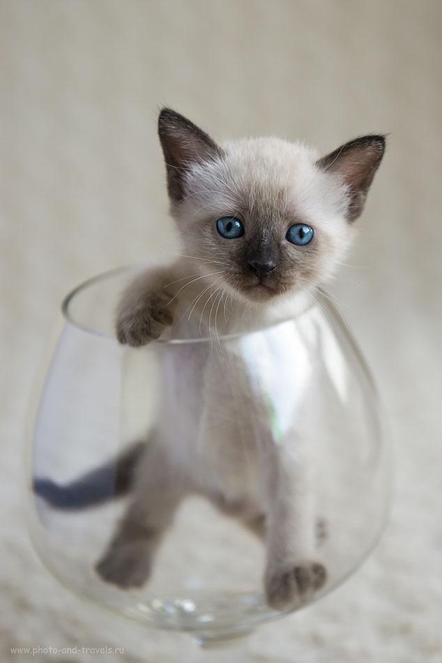 Фотография 7. То ли в аквариуме, то ли - в бокале. Съемка кота в домашней фотостудии. (зеркалка Nikon D610, объектив Nikkor 24-70/2.8, настройки: 800, 62, 3.5, 1/800)