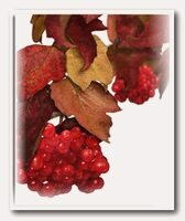 ягода_калина_jagoda_kalina