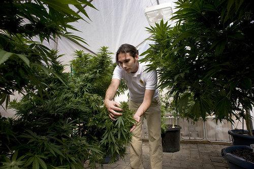 Go2life.net • Легальное выращивание и производство марихуаны в Калифорнии