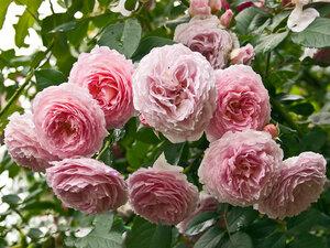 Кустарниковая роза Джеймс Гелвей (James Galway), David Austin 1985