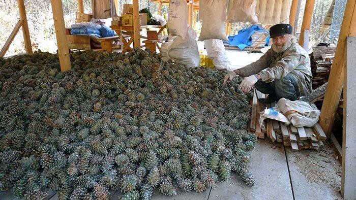 Сбор кедрового ореха в Приморском крае