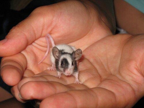 Миниатюрная японская мышка.