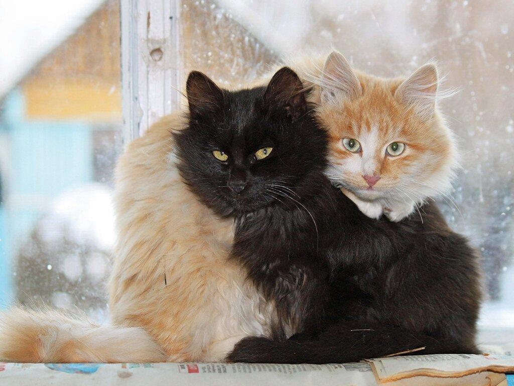 Кот Инь и и кот Ян.