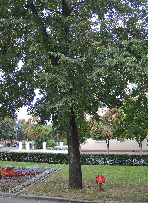 Аллея героев, дерево космонавта Леонова