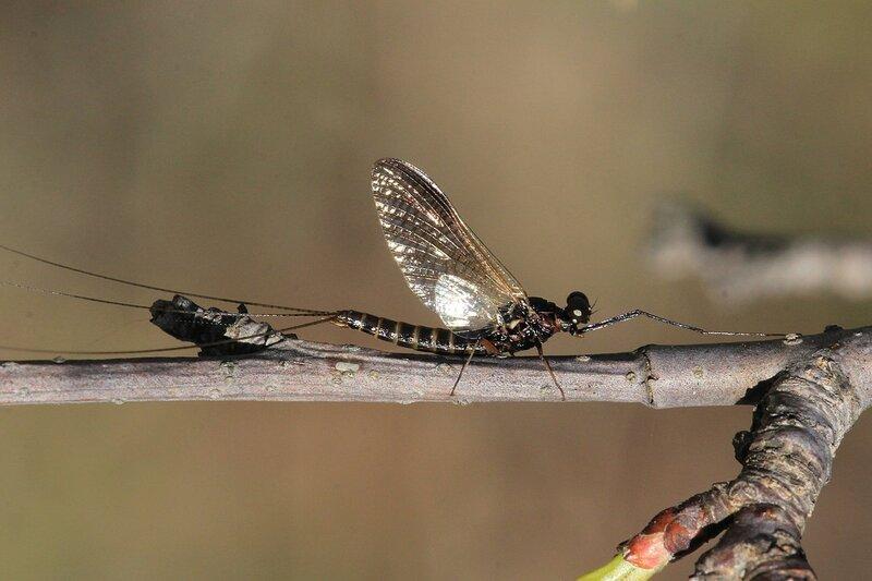 Насекомое из отряда подёнки (Ephemeroptera) с двумя парами крыльев разной длины и тремя длинными хвостовыми нитями сидит на веточке дерева