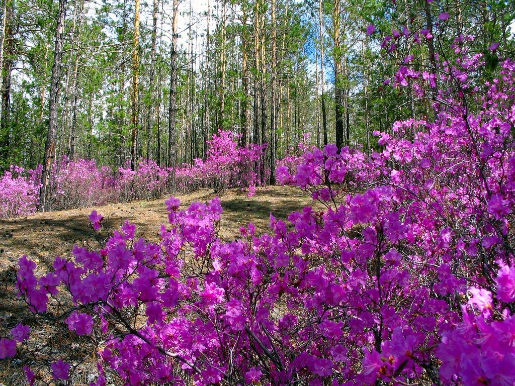 Весна в Забайкалье! Цветет Рододендрон Даурский