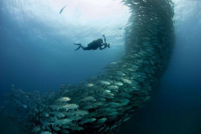 Видео и фотографии подводного феномена. Мексиканские стаи ставрид с выпученными глазами