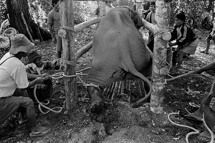 7. Укрощение молодого слона с использованием досок с гвоздями, веревок и деревянного станка в отдале