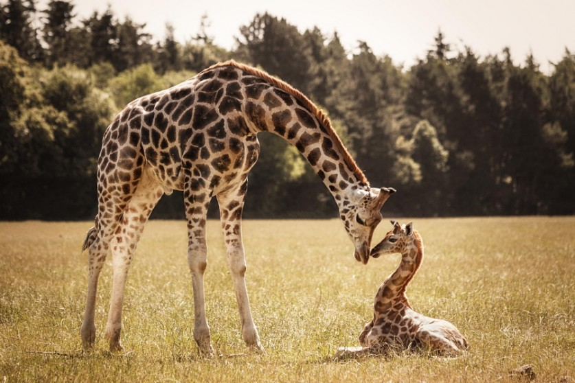 Жирафы. Автор фото: Надин Фольц