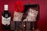 Chester Elite British - шоколадное пятно британский котенок (леопардовый британец). Питомник Elite British