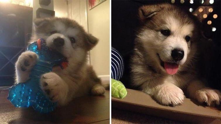 Щенок маламута пощадил лишь одну мягкую игрушку и не разлучается с ней, даже став взрослой собакой