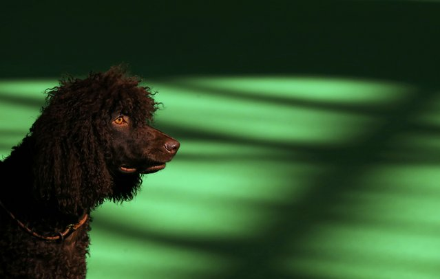 An Irish Water Spaniel is shown during the second day of the Crufts Dog Show in Birmingham, Britain
