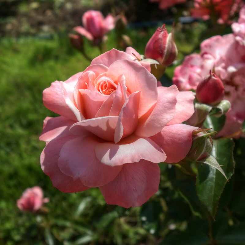 О, роза!