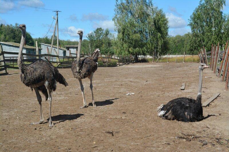 Агроферма с чёрными африканскими страусами в Брянской области.