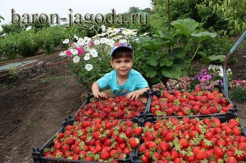 Бароновская ягода
