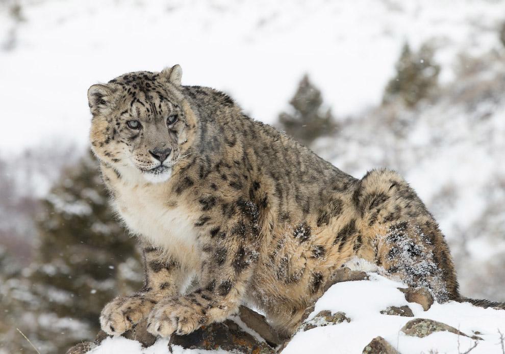 Снежный барс — одна из наименее изученных диких кошек. Это следствие того, что сегодня ирбис об