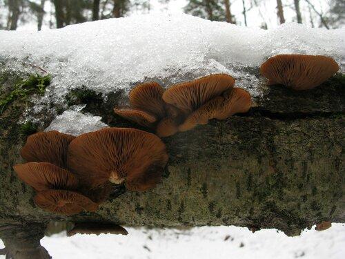Вешенка поздняя (Panellus serotinus). Panellus – в какой-то степени уникальный род. Все его представители, произрастающие у нас, выглядят зимой очень достойно Автор фото: Станислав Кривошеев