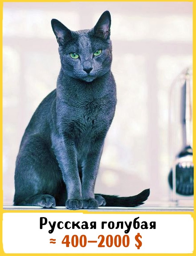© homeanimals.wordpress.com  Это одна изсамых популярных короткошерстных кошек. Запределами