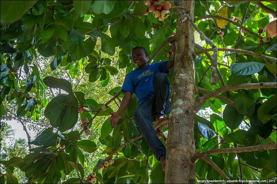 24. А вот за этим фруктом один из наших провожатых даже забрался на дерево, чтобы мы могли их попроб