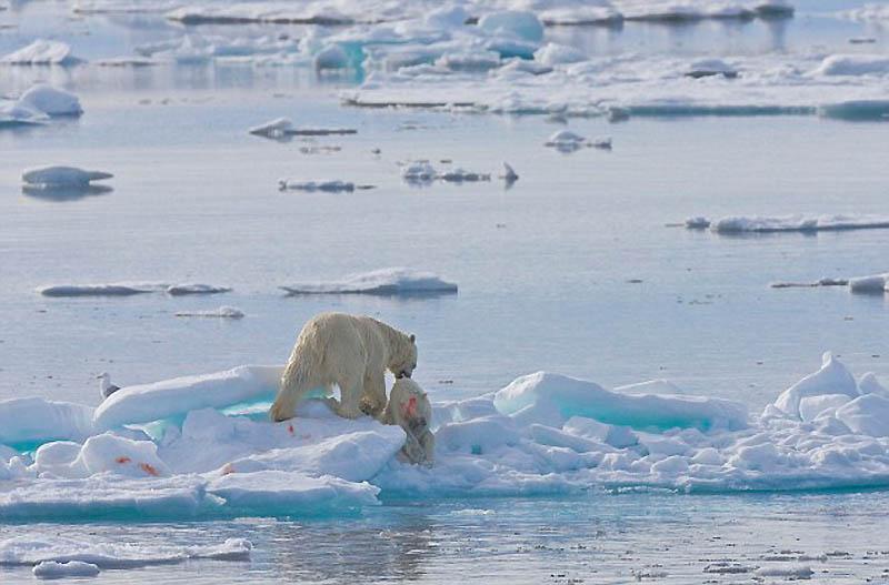 8. Случаи каннибализма среди полярных медведей известны, но в последнее время появились свидетельств