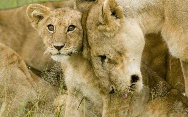 Самки, обычно сестры, образуют ядро львиного прайда. Вместе с ними и самцы, достигающие в 2 раз