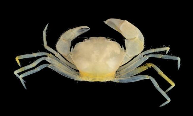 © Mendoze, J C.E., Peter K.L. Ng.  Пучеглазый краб сбледно-желтым панцирем был впервые обнару