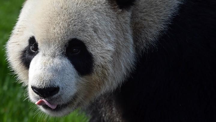 Огромные панды поселятся вМосковском зоопарке