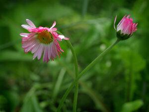 c:белые,c:розовые,s:травянистые,l:простые
