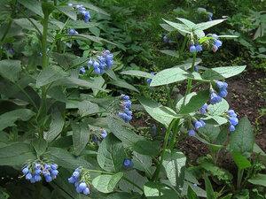 s:травянистые,околоцветник актиноморфный,околоцветник сростнолепестный,c:синие,c:голубые,c:1-2 см,лепестков 5