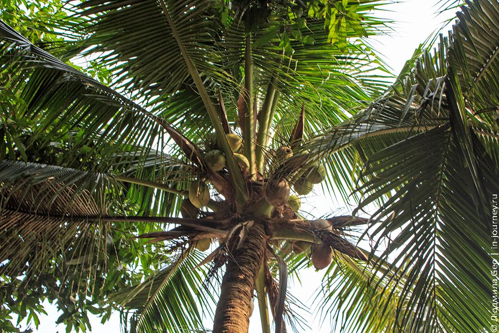 кокосовая пальма с кокосами