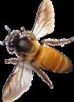 Пчёлы, мёд, соты