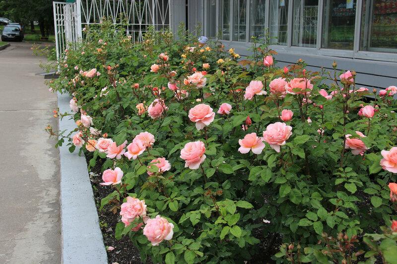 Приглашаем на цветение! Розы Guillot в нашем цветнике на Широкой, 27