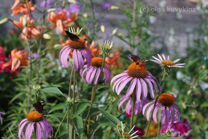 Эхинацеи - любимые цветы осенних бабочек