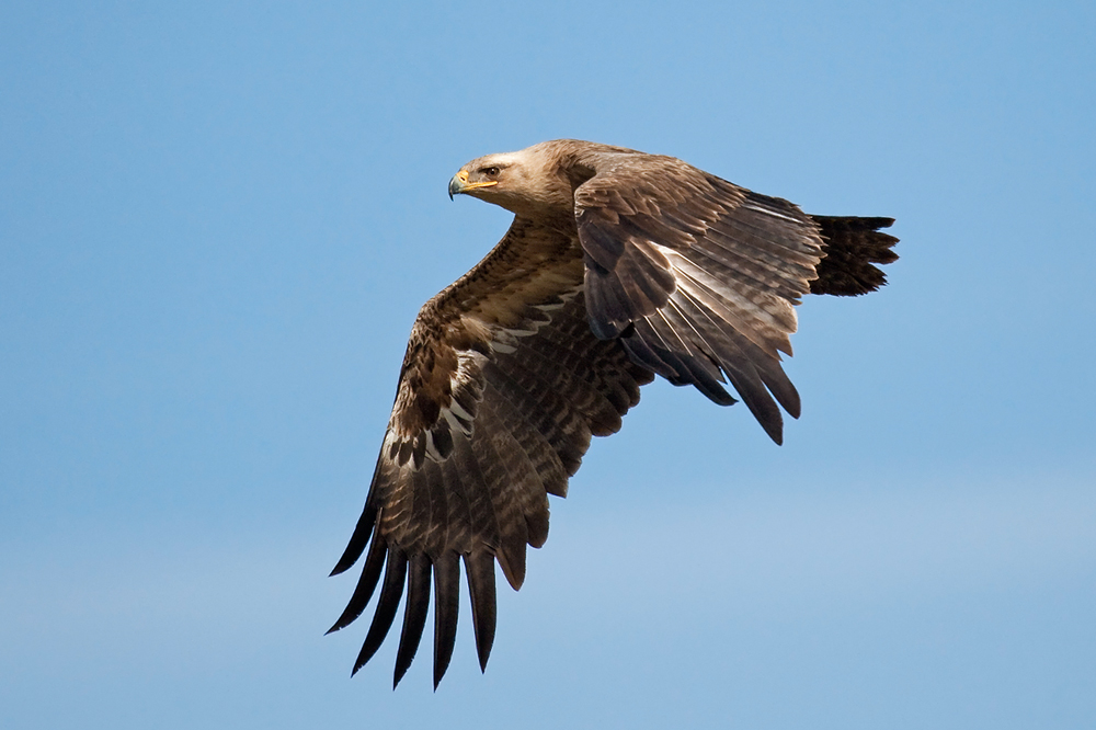 степной орёл2.jpg