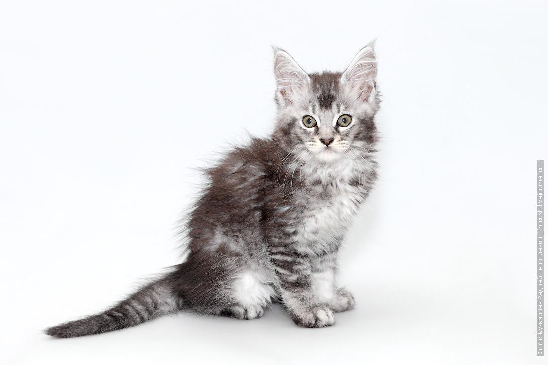 мейн кун котенок