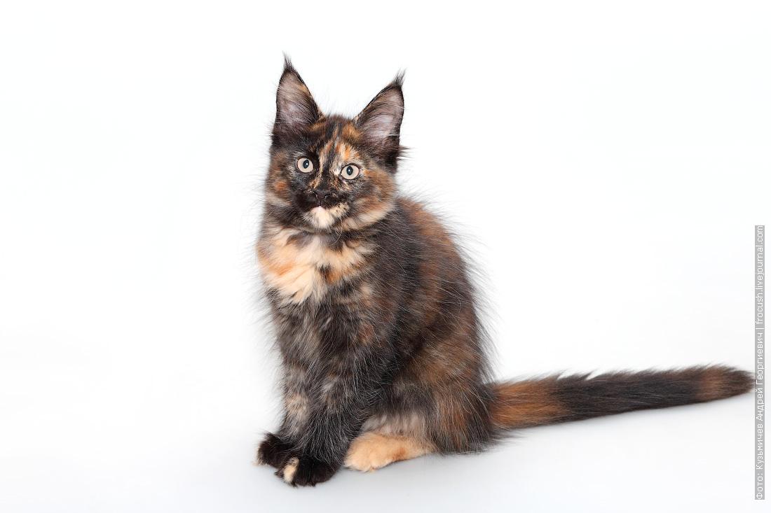 черепашка котенок мейнкун