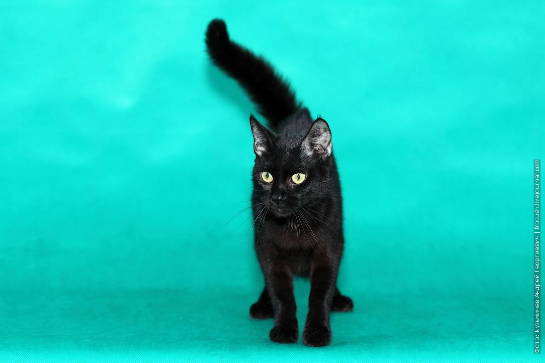 создание новой породы кошек пантеретта