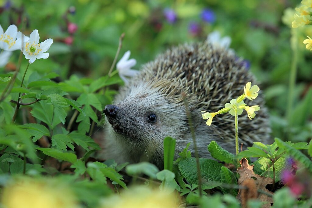 hedgehog-548335_1920.jpg