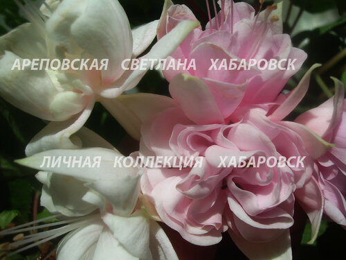 НОВИНКИ ФУКСИЙ. - Страница 5 0_15910d_b95b0d76_L