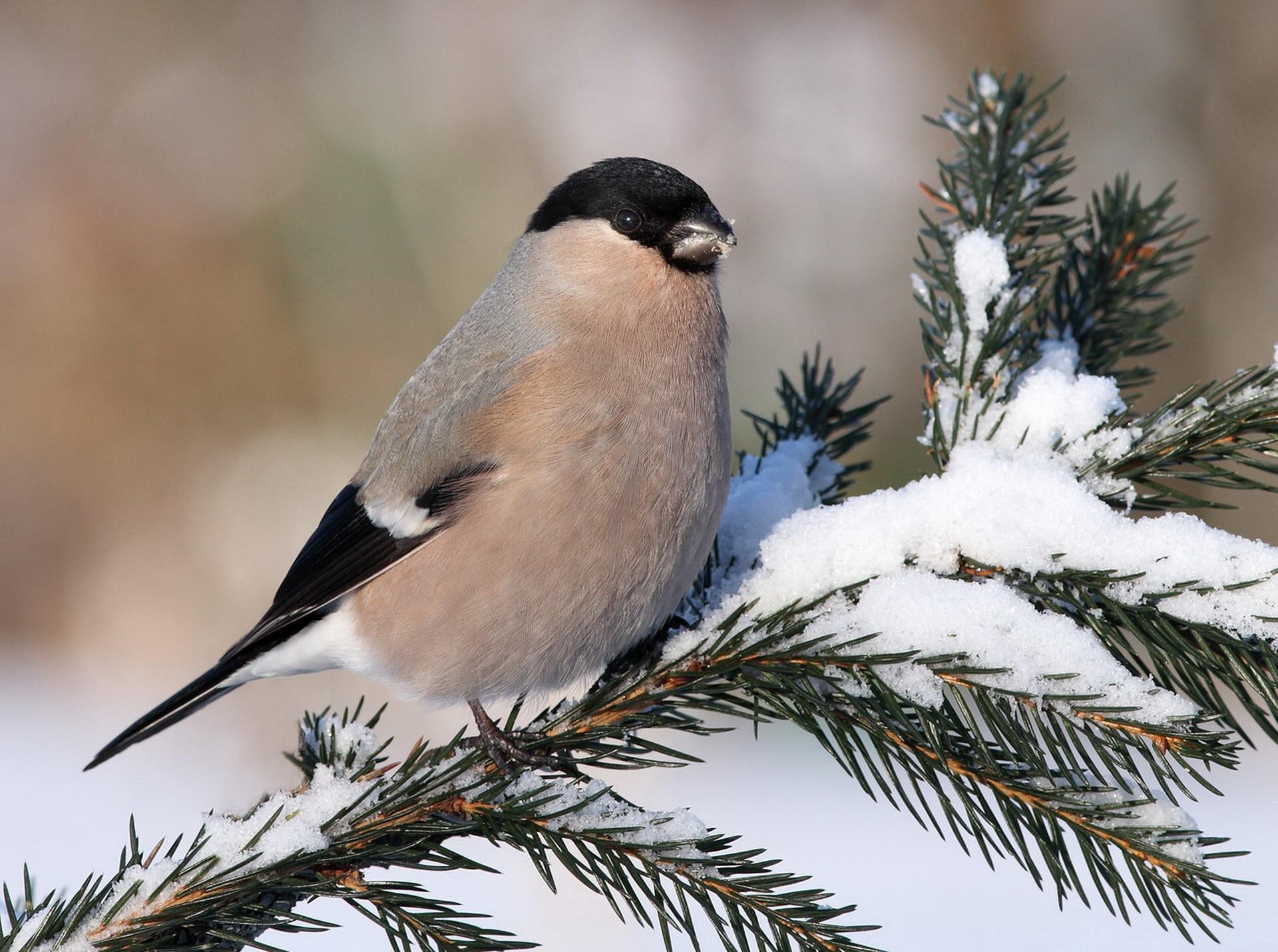 Зимова пташка