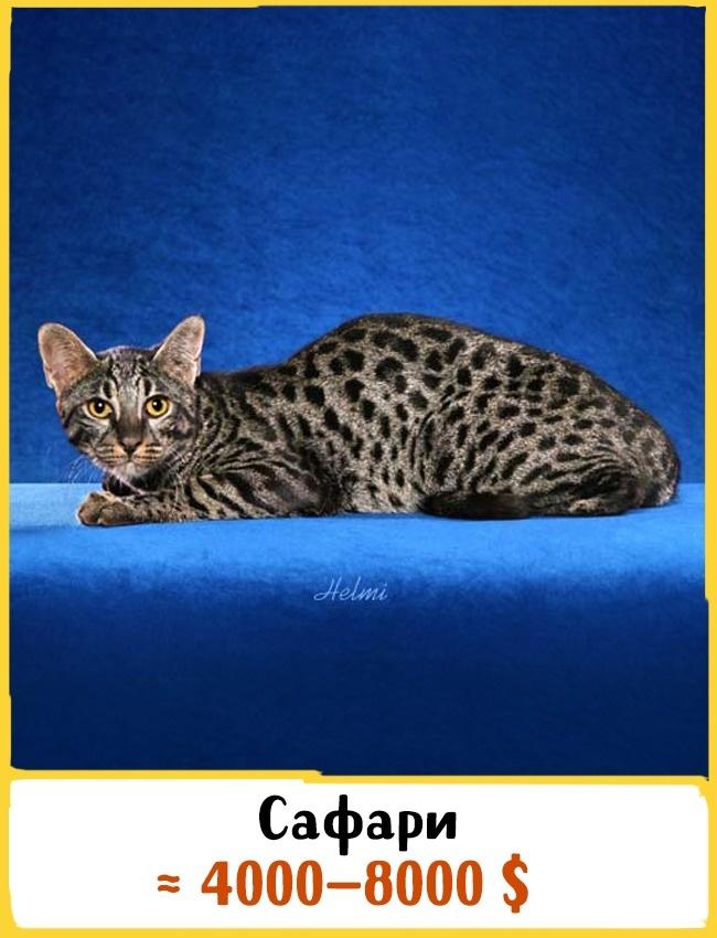 © safari-cats.com  Эта редкая порода появилась благодаря скрещиванию обычной домашней кошки и