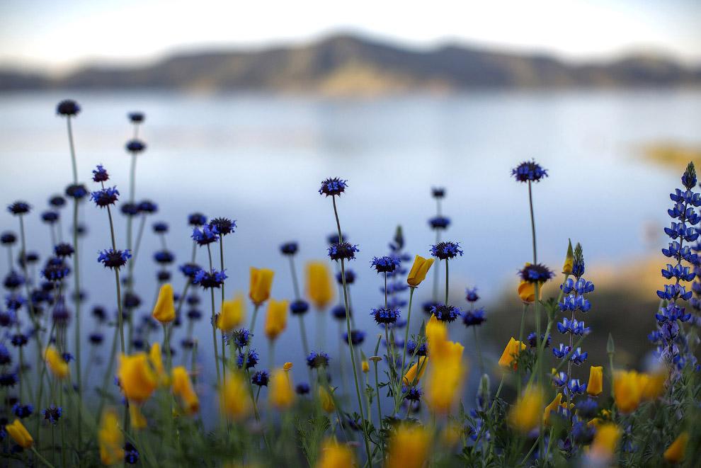 6. Калифорнийский мак или эшшольция калифорнийская является цветком-символом штата Калифорния.